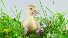 Duckling sitting in green grass with flowers Stock Footage
