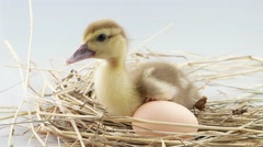 Little duckling sits near egg in the nest and screaming Stock Footage