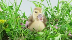 Duckling sitting in green grass with flowers, closeup Stock Footage