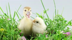 Duckling and chicken sitting in green grass with flowers Stock Footage