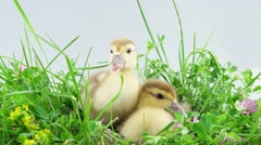 Stock Video Footage of Two ducklings in grass and one of them eats a stalk of grass