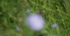 Nature. Grass and wildflowers in a mountain meadow. Focus pull. - stock footage
