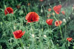 Red corn poppy - stock photo