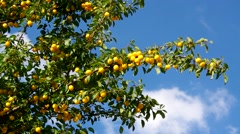 Mirabelle plums at the tree Stock Footage