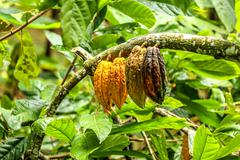 Four big cacao beans hanging from cacao tree branch Stock Photos