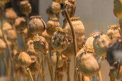 Opium poppy head, Plants for medicine or drugs Stock Photos