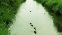 Duck swimming in river with surrounding green bushes Stock Footage