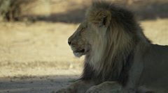 4K+ R3D - Lion - large black-maned male lying down. Africa nature predator cat Stock Footage