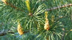 Yello pine cones on the pine trees Stock Footage