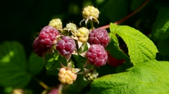 Raspberry fruits on the plant in summer Stock Footage