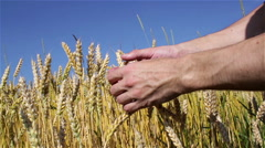 Wheat ripened hands Stock Footage