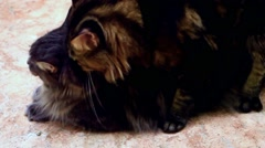 Two Maine coon having love cats Stock Footage