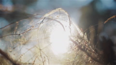 Morning sun caught into spider web cocoon hanging on the branches. Close up Stock Footage