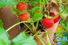 Terracotta planter with ripe strawberries Stock Photos