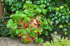 Strawberry plant in a terracotta pot on a garden bench - stock photo