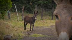 A donkey photobombs another donkey in this rural setting Stock Footage