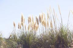 Pampas grass swaying in wind against blue sky Stock Photos