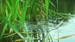 Frogs fighting at breeding season. - stock footage