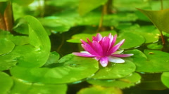 Water lily blooming at the water surface - stock footage