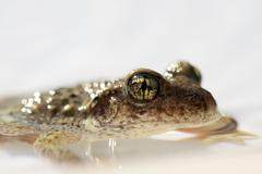 Toad half-submerged in water, close-up Stock Photos