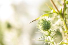 Thistle, close-up - stock photo