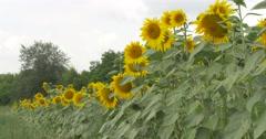 Long Stalks of Sunflower, Row of Sunflowers, Piece of Gray Sky, Field of - stock footage
