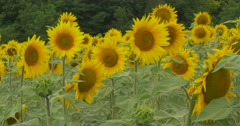 Green Forest, Field of Sunflowers, Sunflower Is Blooming, Swaying at the Wind - stock footage