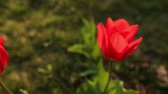 Beautiful tulips close up Stock Footage