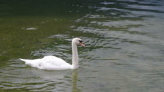 Swan swimming in a lake. Stock Footage