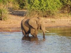 Elephant in Botswana - stock photo
