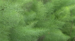 Dill plant growing in vegatable garden Stock Footage