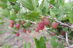 Ripe cultivar gooseberry (Ribes uva-crispa) berries in the summer garden - stock photo