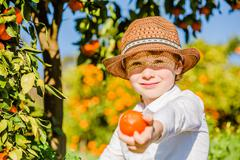Portrait of attractive cute young boy picking mandarins at citrus farm on sunny Stock Photos