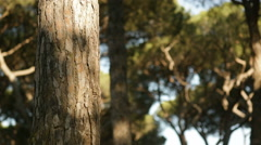 Trunk and branches in pine trees forest Stock Footage