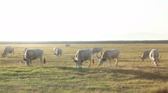 Stock Video Footage of Long horned maremmana breed cattle livestock grazing grass in flat land