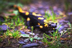 Fire salamander, poisonous animal - stock photo