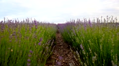 Lavender Feld in the South of France Stock Footage