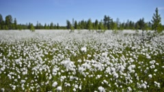 Cotton grass in the Siberian taiga Stock Footage
