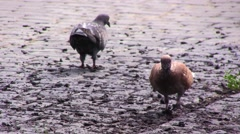 Red and black pigeons will quench their appetite. Stock Footage