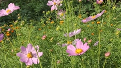 Gentle flower cosmos Stock Footage