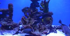 Bluefaced Angel, Cinnamon Clownfish, Naso Vlamingii and Coris Aygula Stock Footage