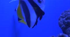 Pennant Coralfish, Heniochus Acuminatus, Longfin Bannerfish, Coachman among Stock Footage