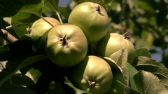 Five yellow apples on the tree Stock Footage
