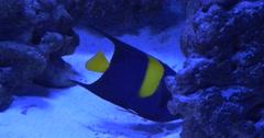 Arusetta Asfur, Single Fish among Corals Stock Footage