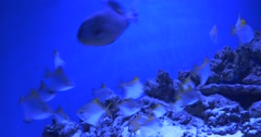 Aluterus Scriptus, Scrawled Filefish, And Monodactylus Argenteus, Fishes Stock Footage