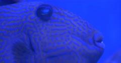 Aluterus Scriptus, Scrawled Filefish, Closeup - stock footage