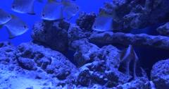 Trachinotus Blochii, Black And Yellow Fish on Background Stock Footage