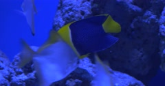Trachinotus Blochii And Black And Yellow Fish, Among Flossil Corals Stock Footage