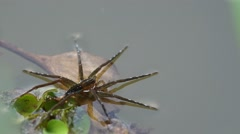 Water spider on the floating plant Stock Footage