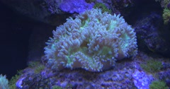 White Corals And Fishes, Zebrasoma Flavescens, Blue- Face Angel Stock Footage
